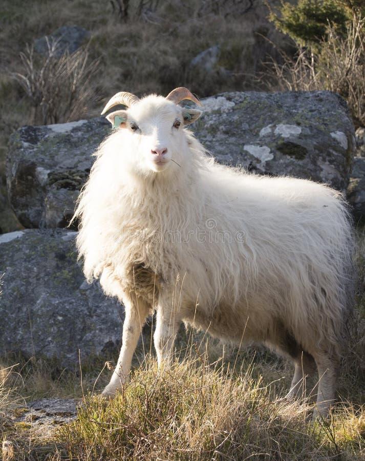 Presentación de ovejas imagenes de archivo