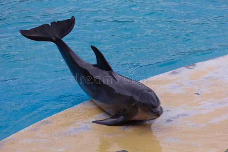 Presentación del delfín imagenes de archivo