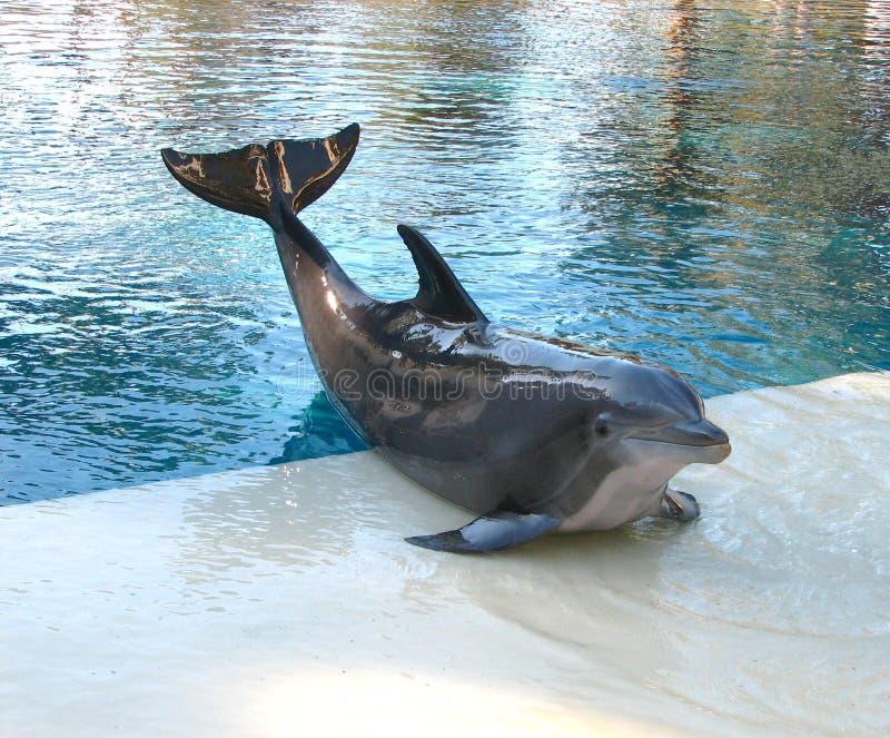 Presentación del delfín fotografía de archivo