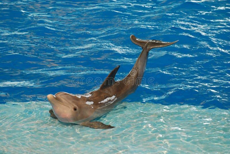 Presentación del delfín con equilibrio imagen de archivo