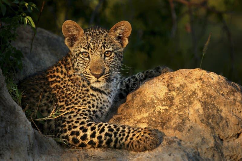 Presentación del leopardo Cub imagen de archivo