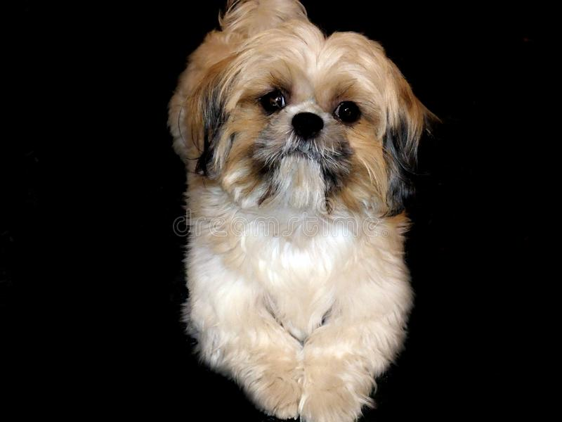Presentación del perro del tzu de Shih feliz y feliz fotos de archivo libres de regalías