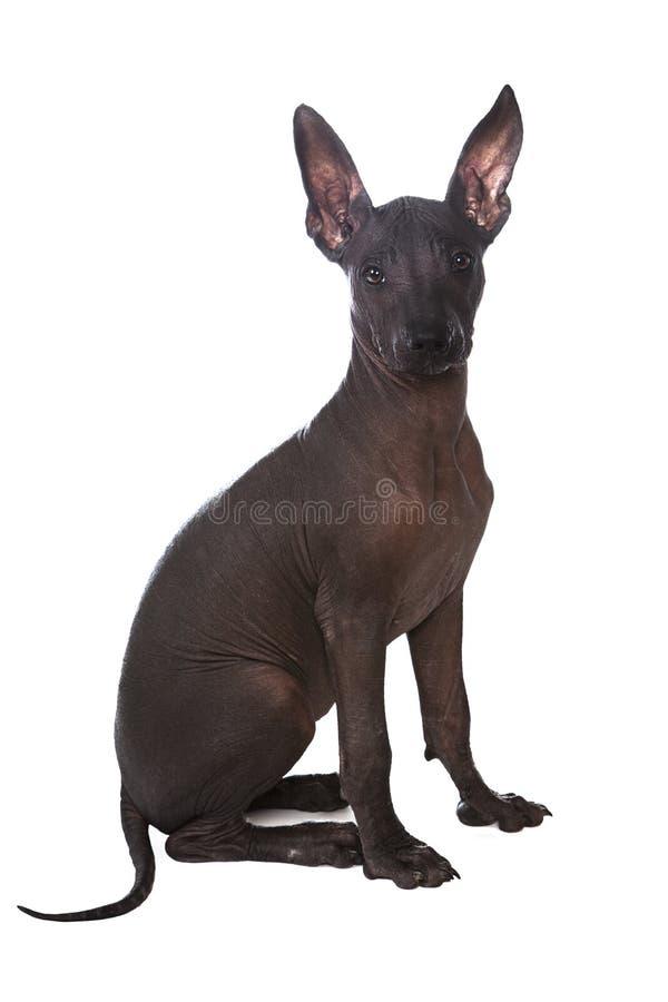 Presentación mexicana del perrito del xoloitzcuintle imagen de archivo