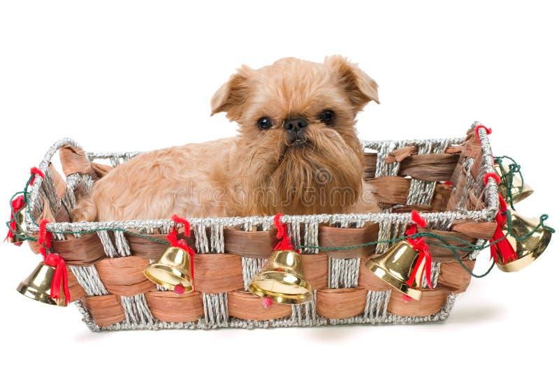 Presente do Natal - Griffon Bruxelense fotos de stock