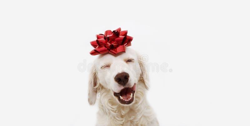 Presente feliz del perro para la Navidad, el cumpleaños o el aniversario, llevando una cinta roja en la cabeza Aislado contra el  fotos de archivo libres de regalías