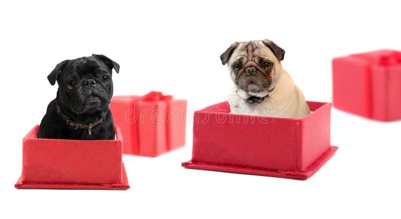 Presentes do Pug fotografia de stock royalty free