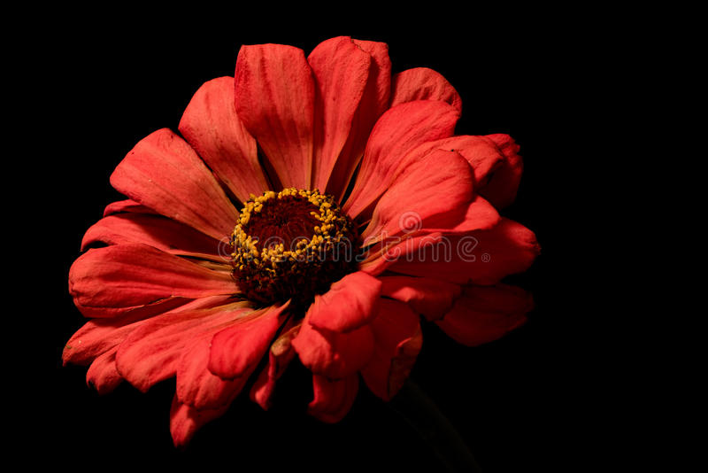 Presentment in the Dark. Floral portrait on black of a orange petaled bloom royalty free stock images