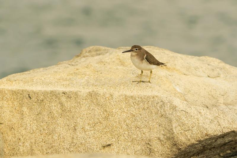 Sanderling bird in Huatulco Bay, Mexico. Preserved nature, quiet beaches and bays, birds and fauna watching, all for nature lovers at Huatulco, Mexico stock photo