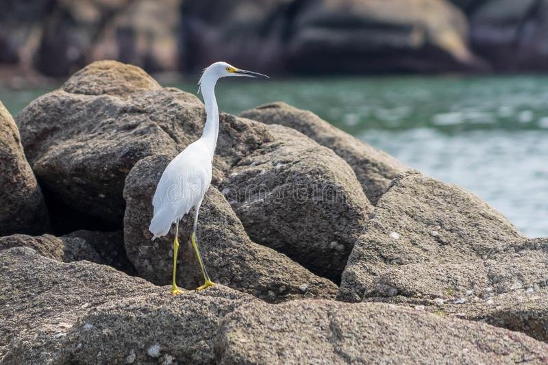 Snowy Egret on Huatulco Bay, Mexico. Preserved nature, quiet beaches and bays, birds and fauna watching, all for nature lovers at Huatulco, Mexico stock photo