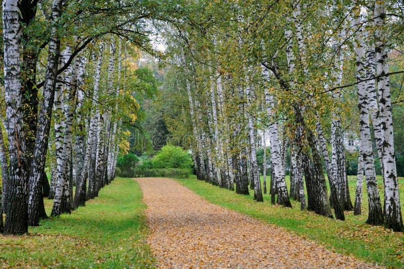 """Preshpekt i höst†""""avenyn av björkträd på Yasnaya Po royaltyfri bild"""