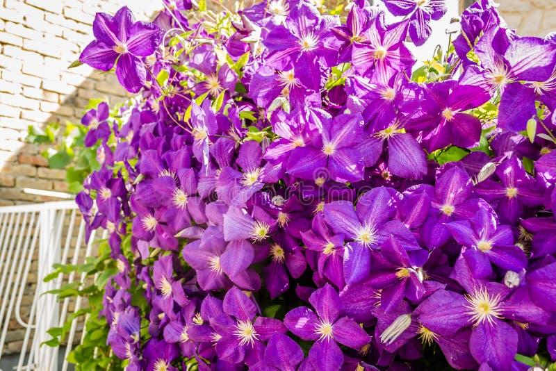 Presidente porpora della clematide delle piante dei fiori immagini stock libere da diritti