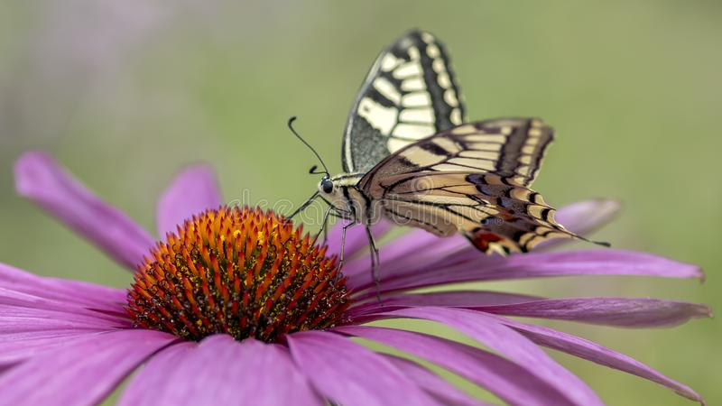 Presious and beautiful Swallowtail butterfly Papilio machaon feeding on a Purple cone flower Echinacea purpurea. Blurry green stock images