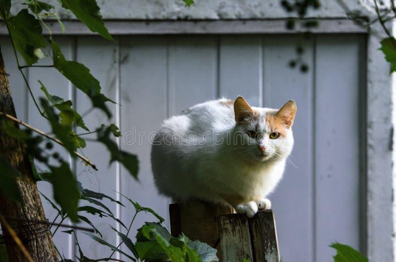 Presque totalement le chat blanc se repose photo stock
