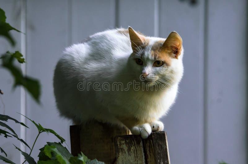 Presque totalement le chat blanc se repose photos stock