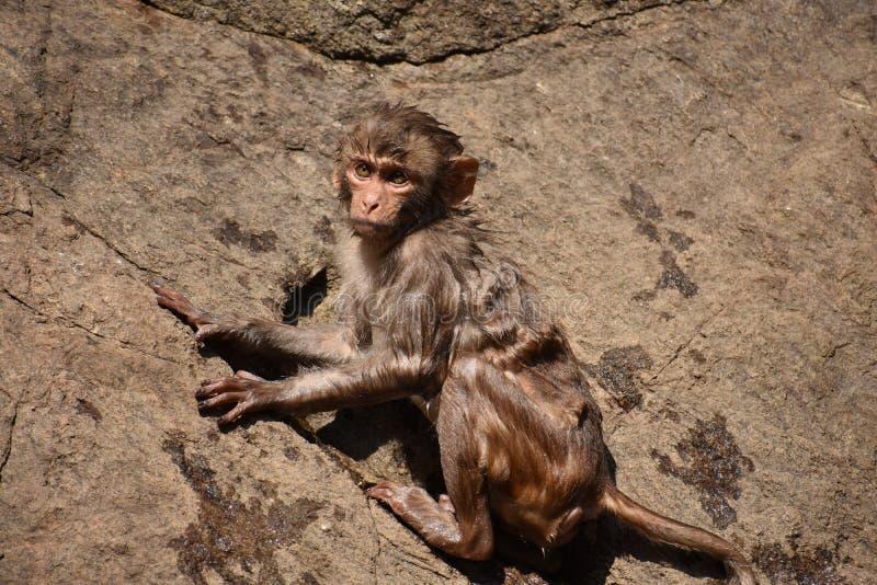 A pressão impressionante do macaco adere-se na pedra reta após o banho na associação de água fotos de stock royalty free