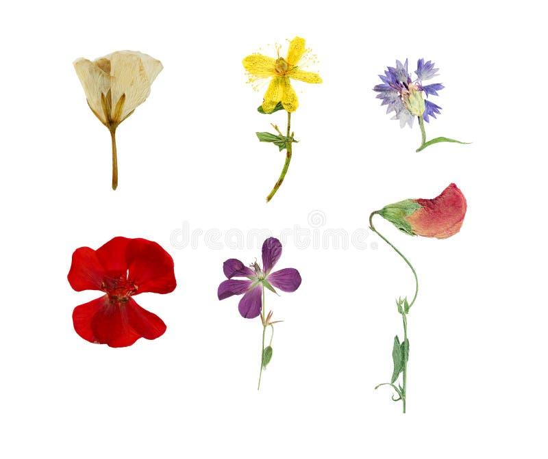 Pressé et sec six fleurs d'isolement sur le fond blanc photo libre de droits