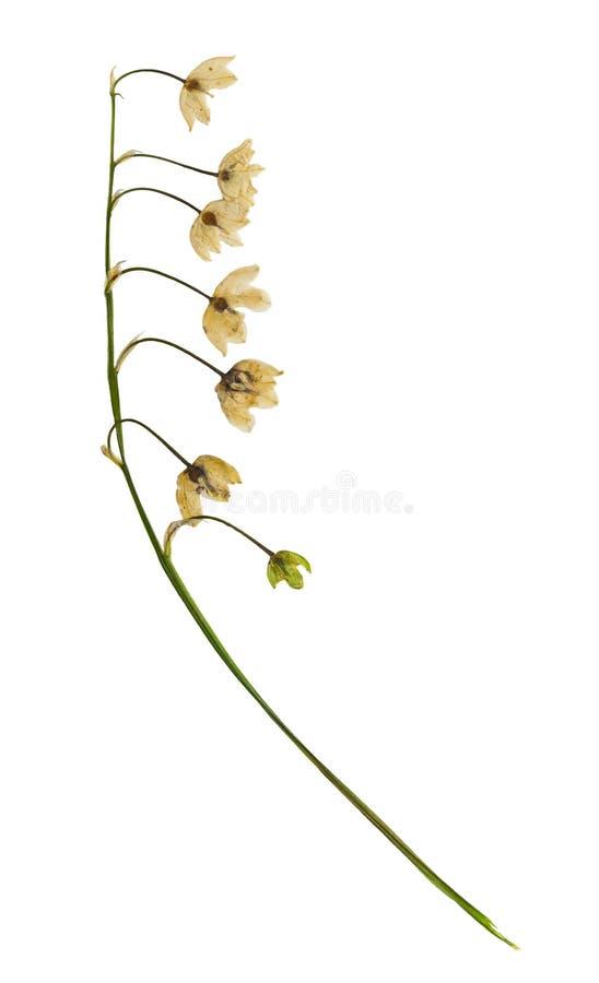 Pressande och torkad blommaliljekonvalj isolerat royaltyfria foton