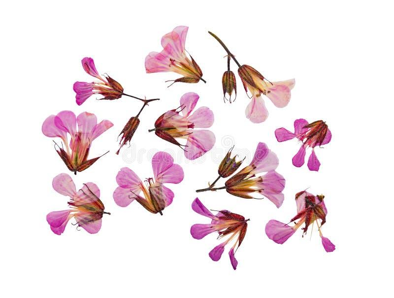 Pressande och torkad blommapelargonrobertianum isolerat arkivfoto
