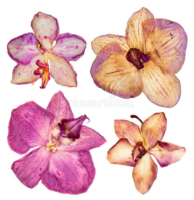 Pressande och torkad korall, rosa färg blommar orkidén isolerad beståndsdelnolla arkivfoto