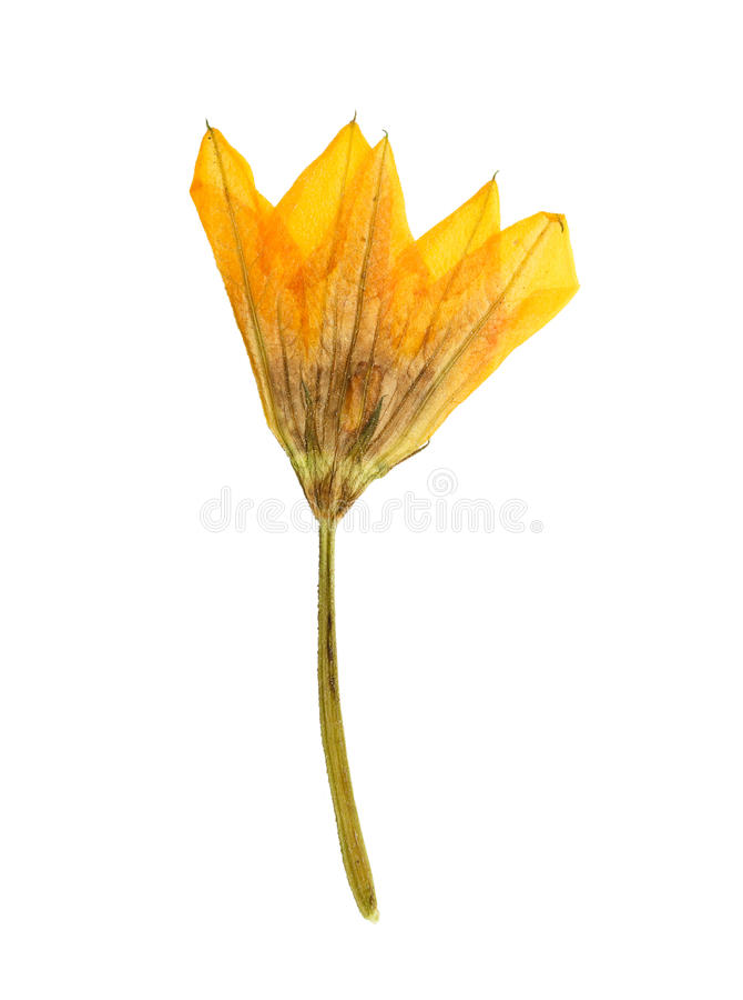 Pressande och torkad orange blommapumpa (kalebass, squash) royaltyfri fotografi