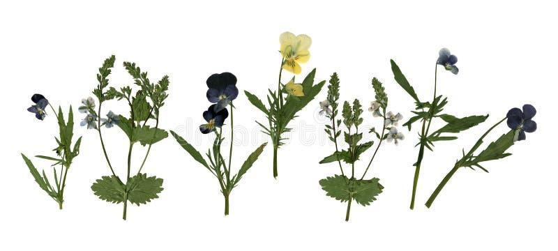 Pressande torkad Herbarium av Pansies och Violet Flowers Isolated på vit bakgrund arkivbild