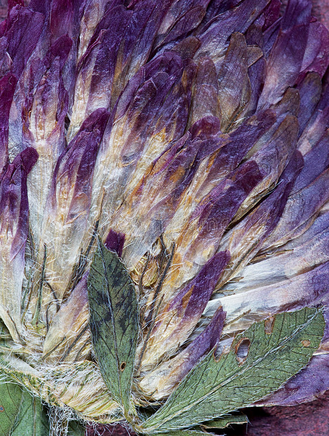 Pressande växt av släktet Trifoliumblommaabstraktion arkivfoton