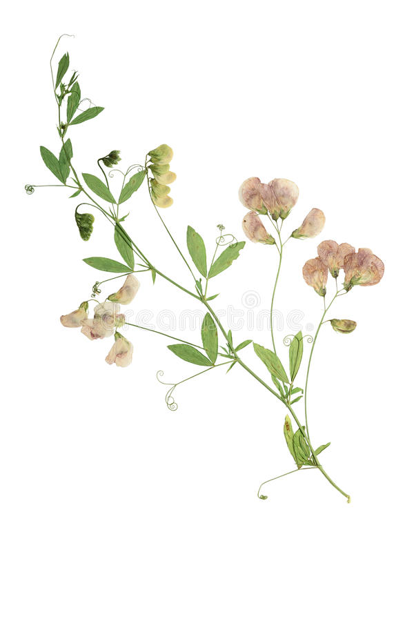 Free Pressed And Dried Flower Forest Peas. Royalty Free Stock Photography - 69671807
