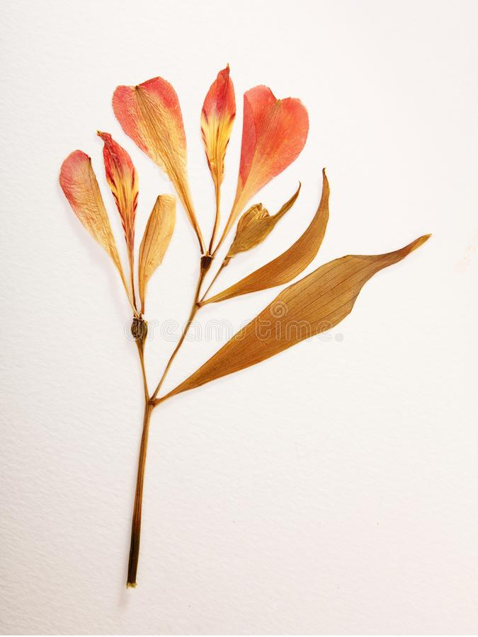 Free Pressed And Dried Summer Red Flowers On A White Royalty Free Stock Photography - 161507227