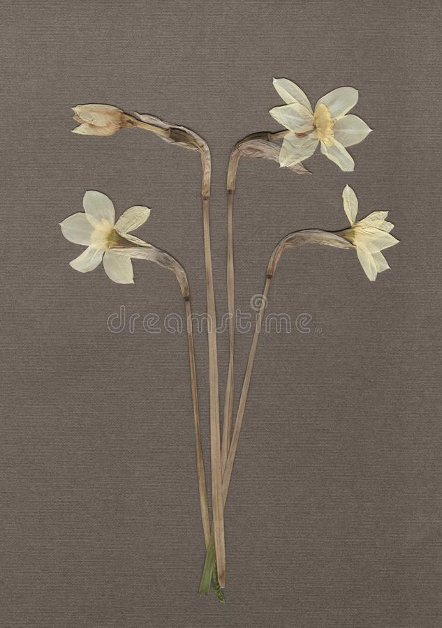 Pressed and dried daffodils. White narcissus. Vintage herbarium background on textured gray paper. Scanned image. royalty free stock images