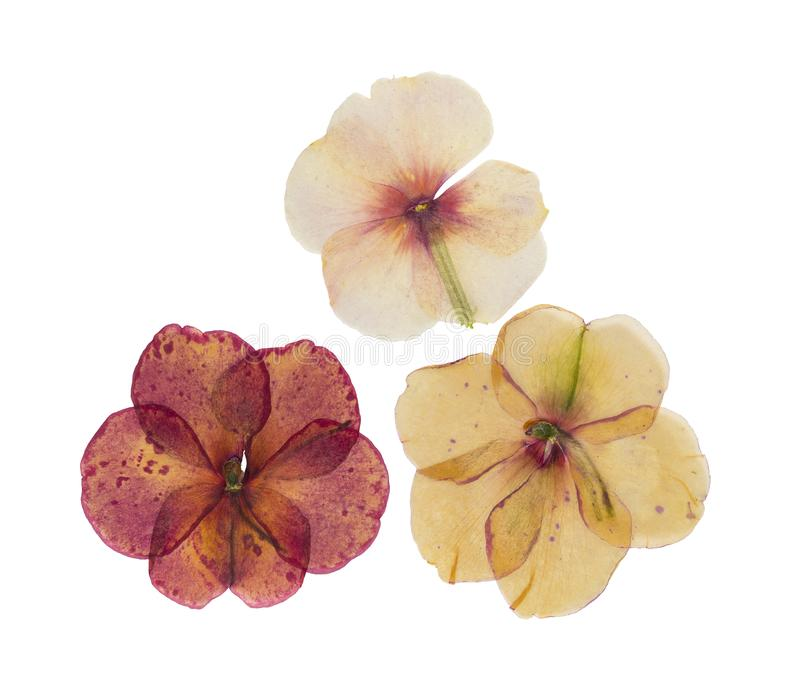 Pressed and dried delicate flower catharanthus, isolated royalty free stock photography