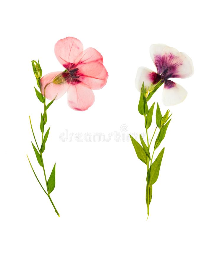 Download Pressed And Dried Delicate Flower Flax, Isolated On White Stock Image - Image of herbal, flat: 101980505