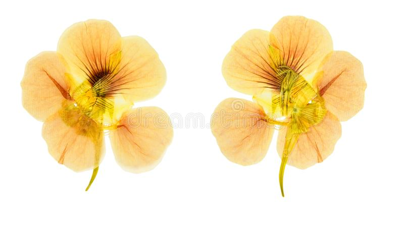 Pressed and dried flowers nasturtium tropaeolum. Isolated on w royalty free stock images