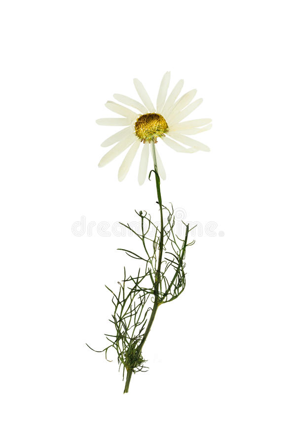 Pressed and dried flower chamomile (camomile). Isolated on white stock images