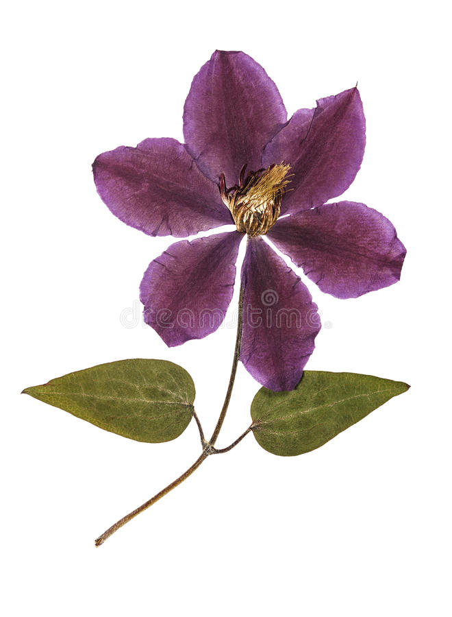 Pressed and dried flower clematis with green leaves. royalty free stock photo