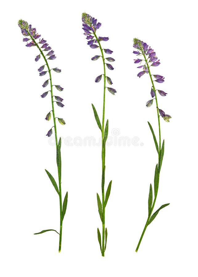 Pressed and dried flower common milkwort, isolated royalty free stock photos