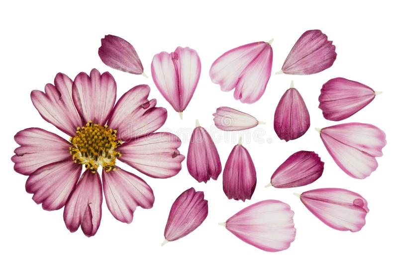 Pressed and dried flower cosmos, isolated on white. Pressed and dried flower cosmos with green leaves, isolated on white background. For use in scrapbooking royalty free stock image