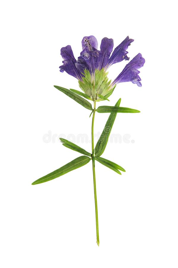 Pressed and dried flower dragonhead, isolated on white royalty free stock photography