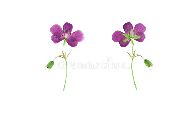 Pressed and Dried flower Geranium pratense. Isolated on white b royalty free stock photos
