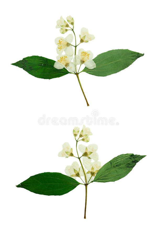 Pressed and Dried flower Jasmine. Isolated on white background. stock photography