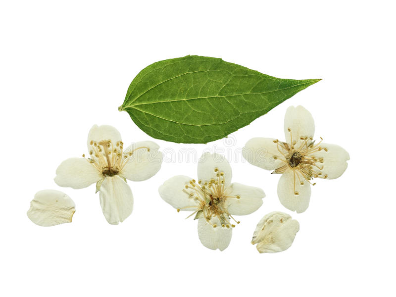 Pressed and dried flower Jasmine. Isolated stock photo