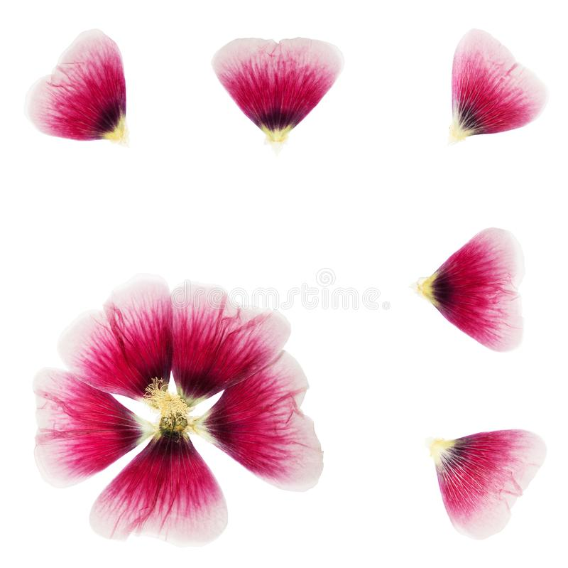Pressed and dried flower mallow malva, isolated on white. Background. For use in scrapbooking, floristry or herbarium. Flat lay royalty free stock photography