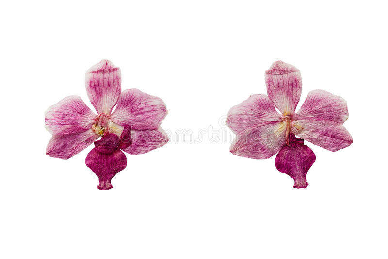 Pressed and Dried flower Orchid. Isolated on white background. royalty free stock photos