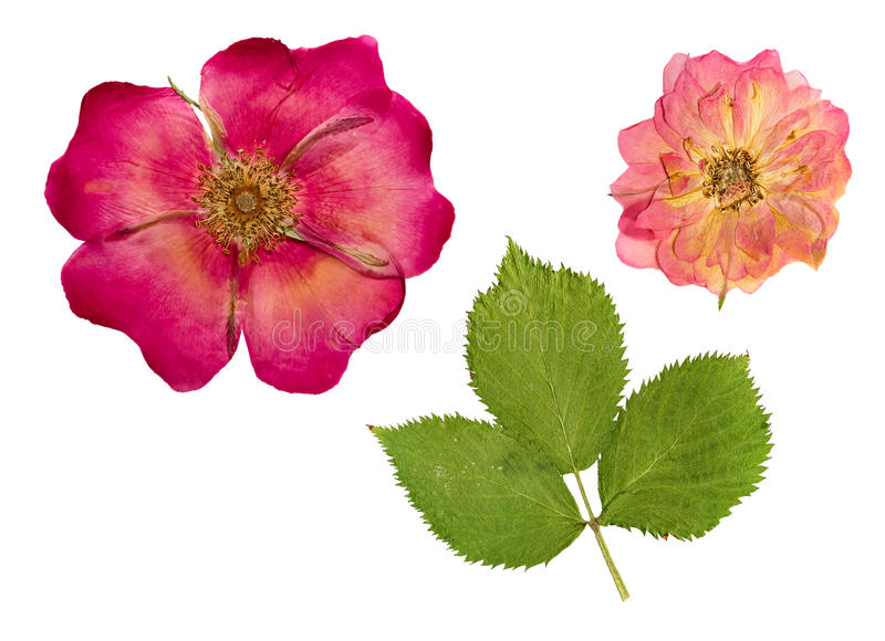 Pressed and dried flower and rose hips. stock image