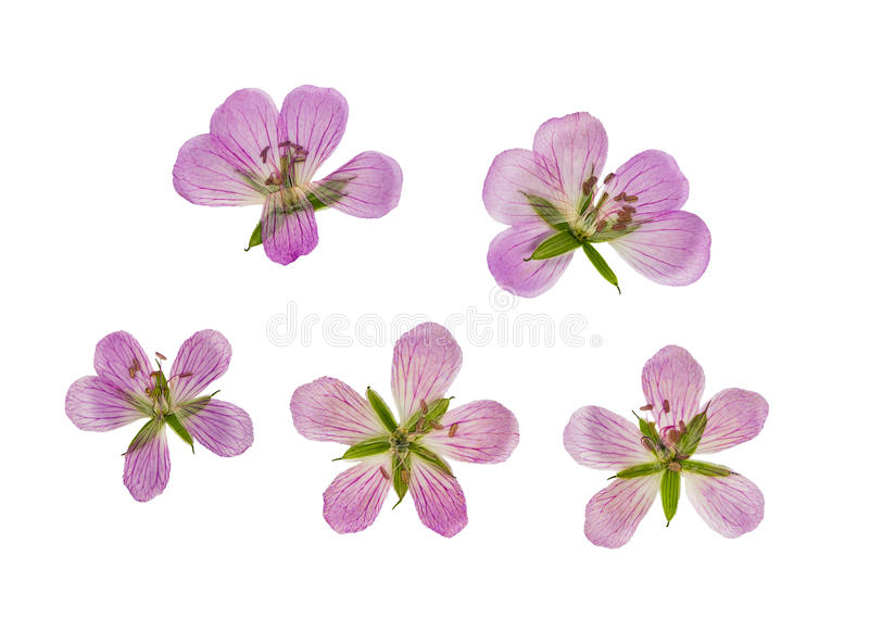 Pressed and dried flower siberian geranium, isolated royalty free stock photography