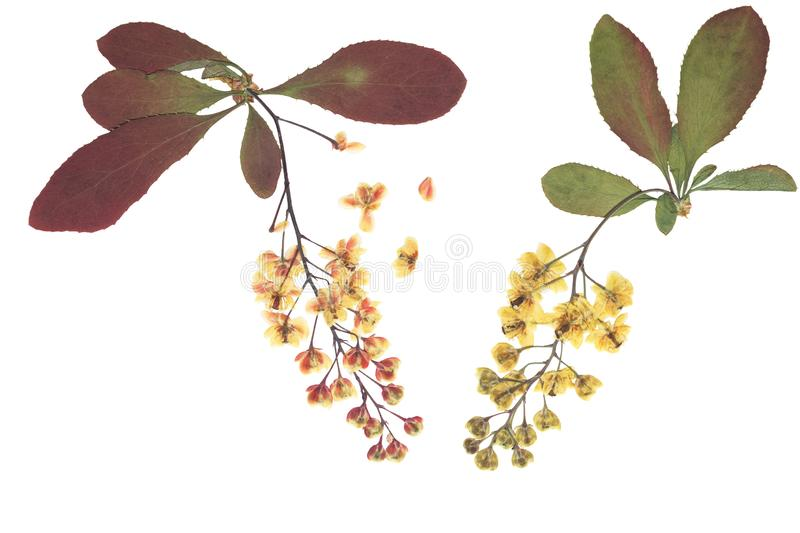 Pressed and dried flowers barberry, isolated on white stock photos