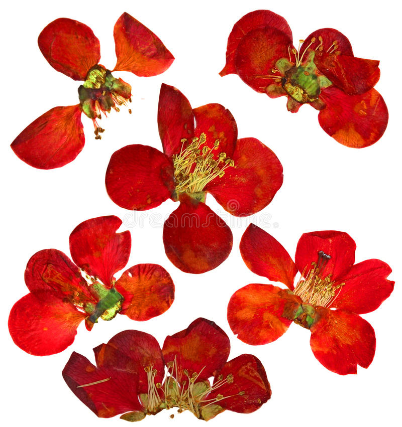 Pressed and dried flowers and petal of quince royalty free stock image