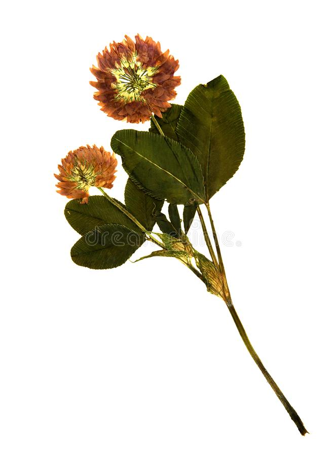 Pressed and dried flowers of red clover stock photography