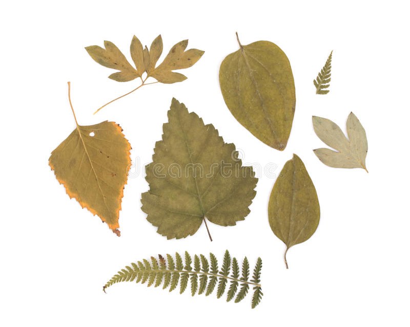 Pressed Dried Herbarium of Various Plants royalty free stock photography