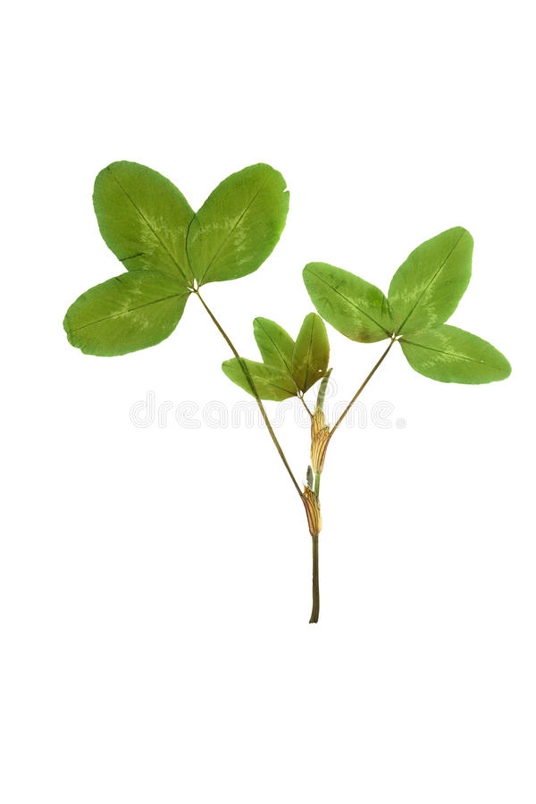Pressed and dried leaf trifolium pretense or clover. royalty free stock photo