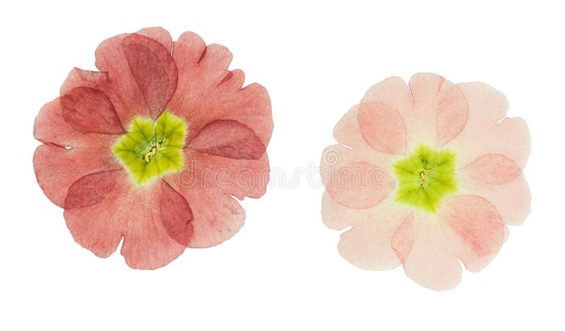 Pressed and dried maroon primrose flowers - primula polyanthus. Isolated on white royalty free stock image